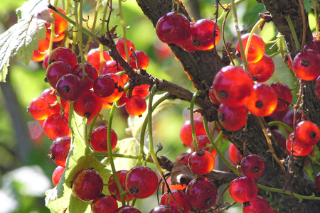 luminous: Red currant transparent berry luminous on sun hungs on branch of the bush