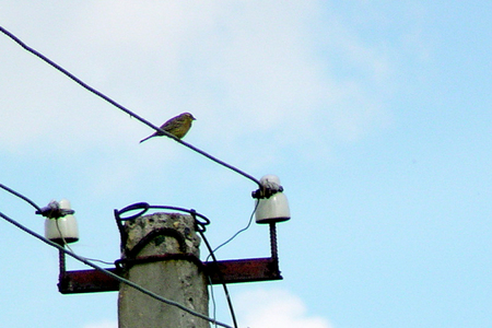 birdie: Bold birdie sits on wire of the high-tension line of supply