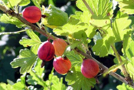 amongst: Gooseberry luminous on sun hungs on branch amongst green sheet