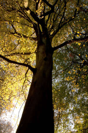 Imposing tree in an English woodland in autumn with bright sunlight showing through the tree canopy.