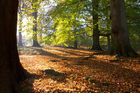 English woodland scene in autumn showing rich autumn colours in the early light.