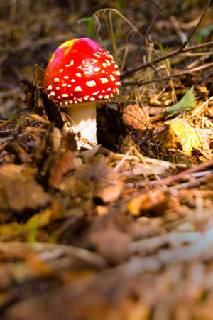 Red toadstool on forest floor. photo