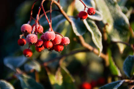 Frost coating red berries on tree. Stock Photo