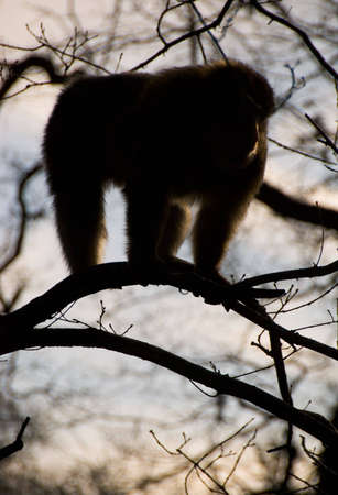 Barbary Macaque monkey in tree silhouetted against sky. photo