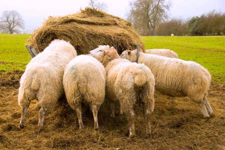Sheep eating from hayrick