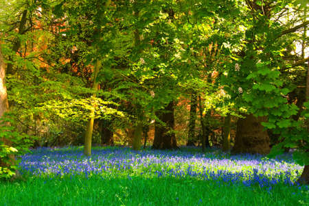 Sunlit glade with bluebells Stock Photo