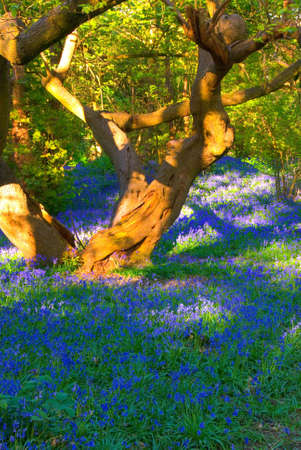 Old tree surrounded by bluebells Stock Photo