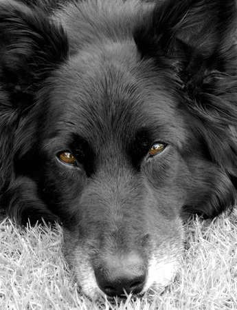 Black collie dog looking straight into the camera photo