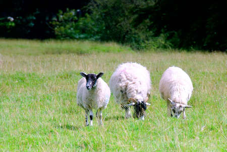 Three Swaledale sheep grazing in a meadow