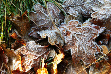 Collection of autumn leaves covered in frost