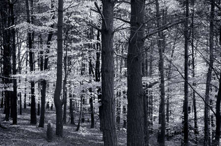 Birch and beech trees in black and white forest scene