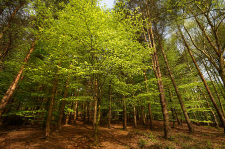 Birch and beech trees in forest scene