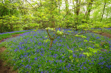 Bluebells in green field. Typical springtime scene in English woodland. Stock Photo