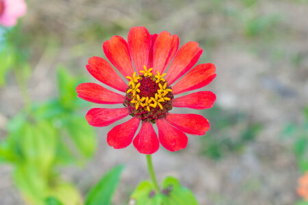 Orange zinnia blossom at center of frame. Zinnia in garden on top view. photo