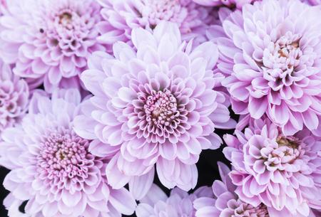 Ligth purple or violet Mum flowers in garden. Beautiful Mum flowers background. Mum flower for design or decoration. Cute Mum flowers  for love scene.