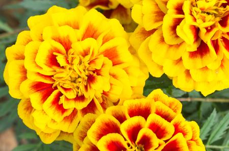 Orange yellow marigold flowers in garden left view beautiful orange yellow marigold flowers in garden left view beautiful marigold flowers for design marigold mightylinksfo