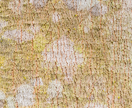Rubber Tree Bark Texture Background. Natural rubber tree bark texture