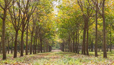 Kautschukbaum im Kautschukwaldhintergrund. Kautschukwald in der Regenzeit mit gelben und grünen Blättern Standard-Bild