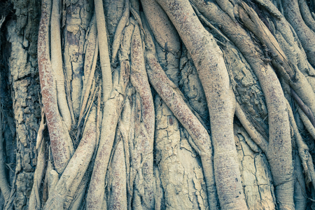 Vintage Old Tree Roots Background Wide Angle View. Brown tree roots texture for design. Natural Tree roots backdrop