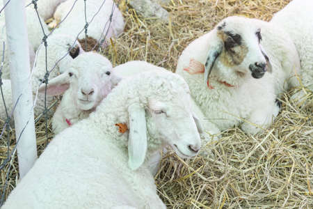 White Sheep Close Eyes and Squat On Straw in Sheepfold or Stall with Natural Light