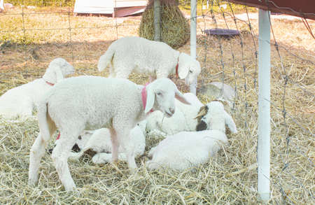 White Sheep Group Eating Straw and Squat in Sheepfold or Stall with Natural Light