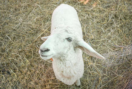 One White Sheep Looking Camera and Standing on Straw in Sheepfold or Stall with Natural Light