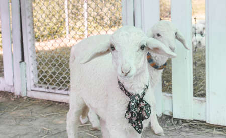 Two White Sheep Standing and Looking Camera in Sheepfold or Stall with Natural Light