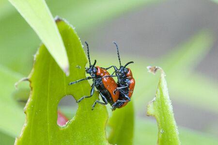 making love: dos escarabajos hacer el amor