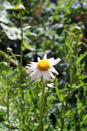 daisie: Un fiore nel giardino Archivio Fotografico