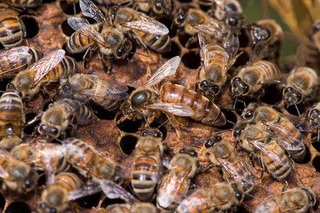 abeja reina: Reina abeja de trabajo en su colmena
