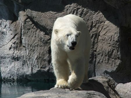 Polar Bear Out of Season