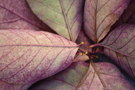 autumn colour: Purple colour autumn leaves Stock Photo