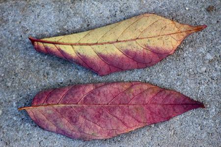 autumn colour: Autumn leaves turning in purple colour