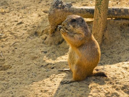 pelage: Prairie dog eating something Stock Photo