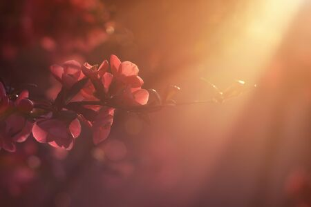 quince: Japanese quince in the Sunset Stock Photo