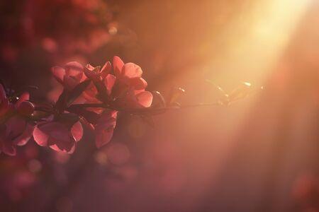 membrillo: Membrillo japonés en el Sunset Foto de archivo
