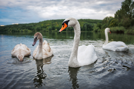 limnetic: Swan family in the lake