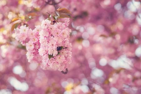 봄의 일본 벚꽃