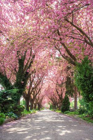 공원에 꽃이 만발한 일본의 벚꽃