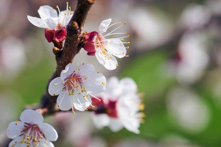 아름 다운 복숭아 꽃을 닫습니다. 스톡 콘텐츠