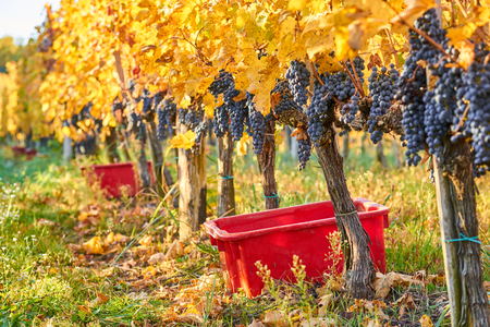 Grapes are in a row before harvesting Stock Photo