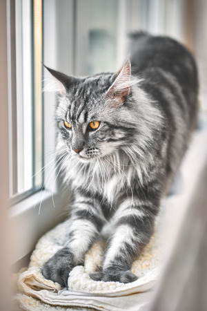 Vintage style photo from a beautiful Maine Coon Cat with fine film grain effect