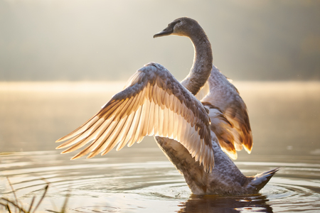 Swan in the lake at sunset