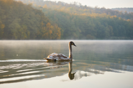 Swan swimming in the lake Stock Photo