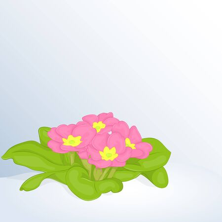 Beautiful spring background with Primula Vulgaris in snow. Greeting cards congratulations with spring or Womens Day.