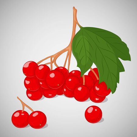 guelder rose: Bright juicy guelder rose or viburnum on grey background. Sweet delicious for your design in cartoon style. Vector illustration. Berries Collection.