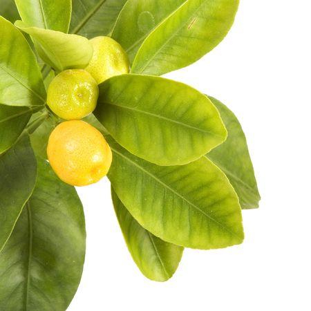 Citrus leaf photo