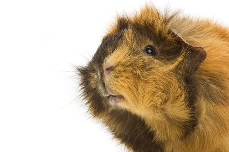 adorable guinea pig photo