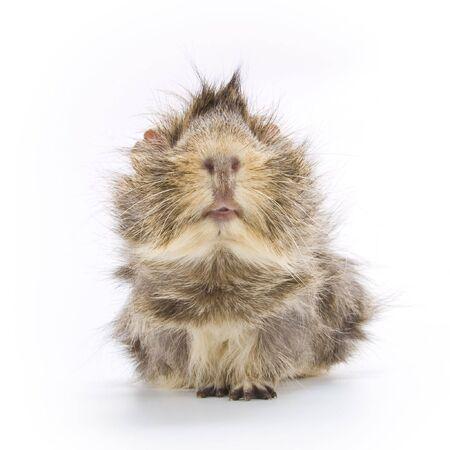 adorable guinea pig photo