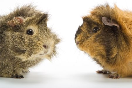 a pair of guinea pigs photo